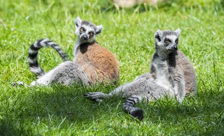 tailed: ring - tailed lemur (Lemur catta)