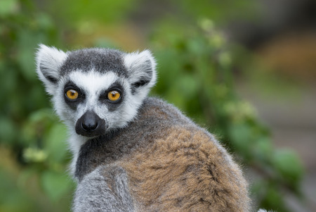 ring tailed: ring - tailed lemur (Lemur catta)