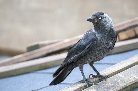 jackdaw: jackdaw - Corvus monedula Stock Photo