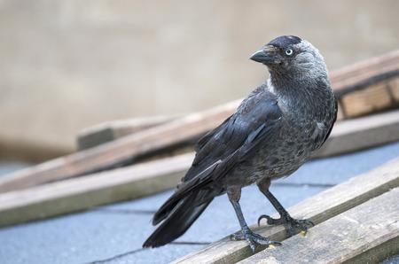 corvidae: jackdaw - Corvus monedula Stock Photo