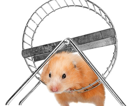 dwarf hamster: a cute little hamster on white background