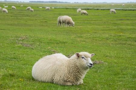pecora: pecore in un prato