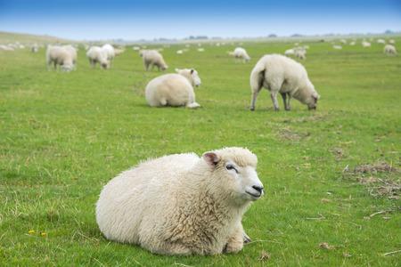羊の牧草地で