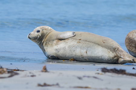 helgoland: seal on a beach - Helgoland, Germany