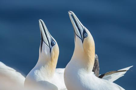 helgoland: Northern gannet (Morus bassanus), Helgoland island ,Germany