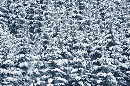 snow covered forest: snow covered forest Stock Photo