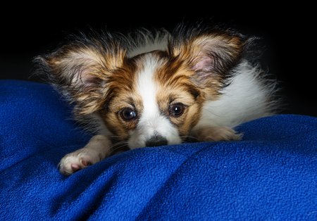 brown and black dog face: cute papillon puppy close up Stock Photo