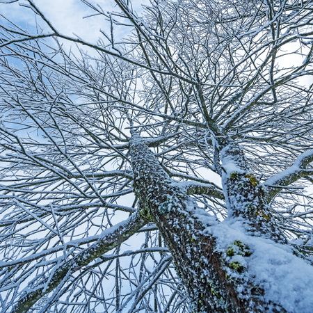 flurry: snow covered tree