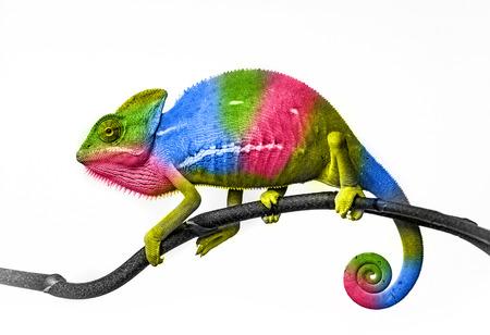 jaszczurka: Kameleon w wielu kolorach Zdjęcie Seryjne