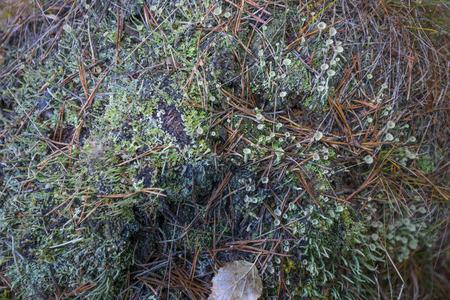 liquen: lichen Foto de archivo