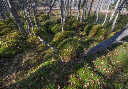 turba: musgo en madera turbera - Sumava, República Checa