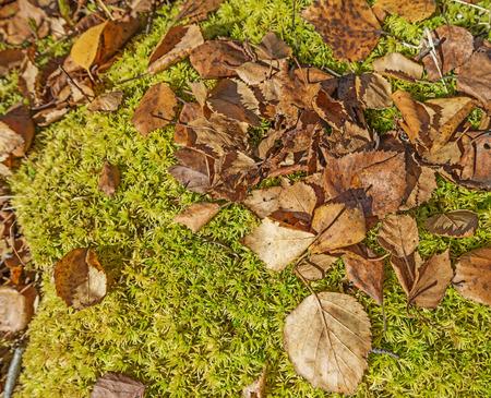 turba: hojas de musgo de turba del pantano y del otoño