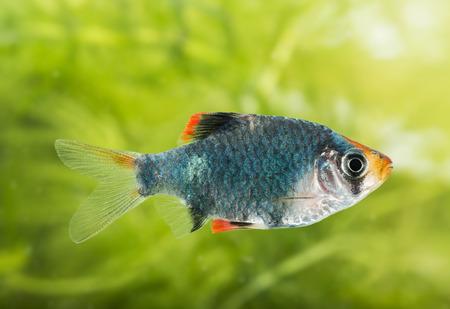freshwater aquarium plants: Puntius tetrazona -  aquarium fish Stock Photo