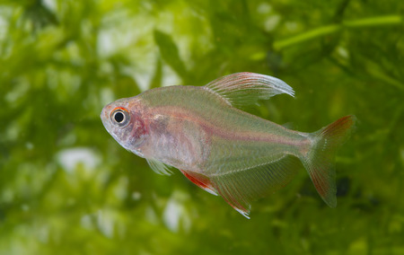 tetra fish: Hyphessobrycon rosaceus - aquarium fish - Rosy Tetra