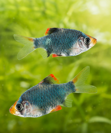 freshwater aquarium plants: Puntius tetrazona -  aquarium fish Stock Photo