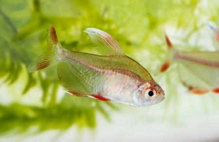 hyphessobrycon: Hyphessobrycon rosaceus - aquarium fish - Rosy Tetra