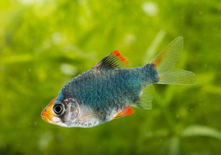 tetrazona: Puntius tetrazona -  aquarium fish Stock Photo