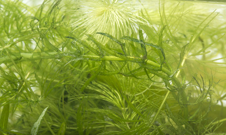 freshwater aquarium plants: aquarium plant: Elodea and Ceratophyllum demersum Stock Photo