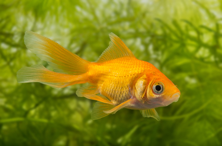 freshwater aquarium plants: Carassius auratus auratus  - gold fish -  aquarium fish