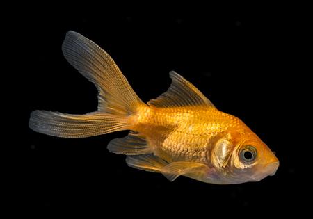 carassius auratus: Carassius auratus auratus  - gold fish -  aquarium fish on black background