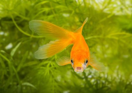 carassius auratus: Carassius auratus auratus  - gold fish -  aquarium fish