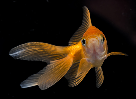 freshwater aquarium plants: Carassius auratus auratus  - gold fish -  aquarium fish on black background