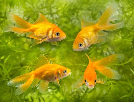 carassius auratus: Carassius auratus auratus  -  aquarium fish Stock Photo