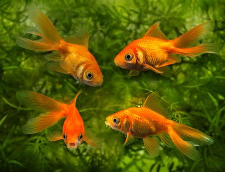 freshwater aquarium plants: Carassius auratus auratus  -  aquarium fish Stock Photo