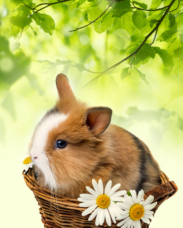 timid: little spring rabbit in a basket with daisy flowers Stock Photo