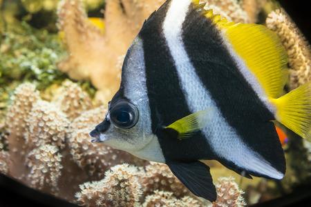 polyp corals: coral fish (Heniochus acuminatus) Stock Photo