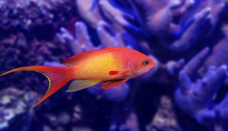 polyp: coral fish - Pseudanthias squamipinnis Stock Photo