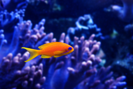 coral and fish: coral fish - Pseudanthias squamipinnis Stock Photo