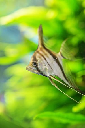 scalare: Angelfish Pterophyllum scalare