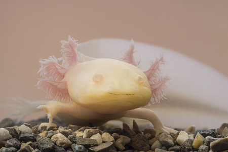 amphibia: Axolotl (Ambystoma mexicanum) in aquarium