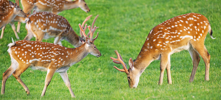 fallow deer: fallow deer on a meadow Stock Photo