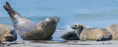 helgoland: seal (Phoca vitulina) on a beach - Helgoland, Germany