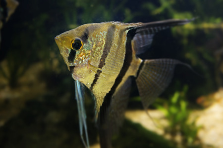 scalare: Angelfish Pterophyllum scalare in detail
