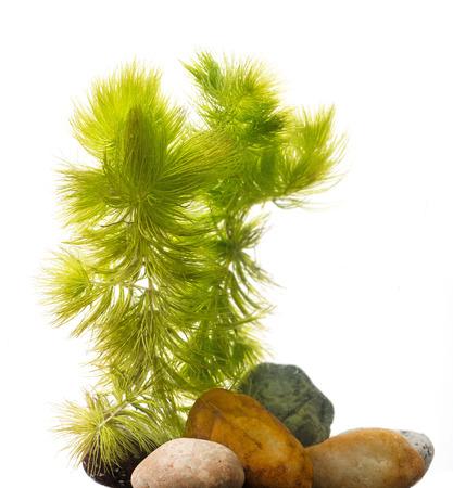 Ceratophyllum demersum - an aquarium plant Stock Photo
