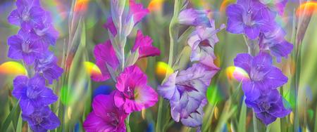 gladiolus: gladiolus in garden close up Stock Photo