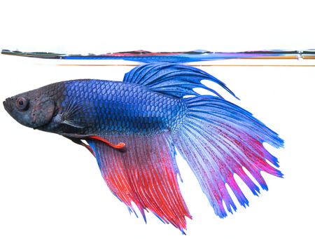 betta splendens: Betta splendens - siamese fighting fish