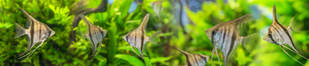 scalare: Angelfish Pterophyllum scalare