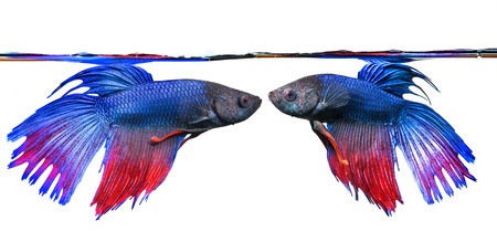 siamese: Betta splendens - siamese fighting fish