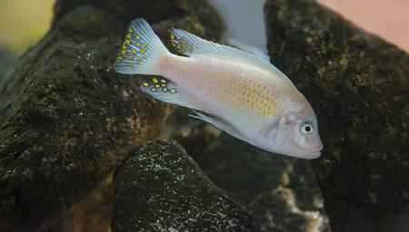 pez pecera: Pseudotropheus zebra - peces de acuario (Malawi)