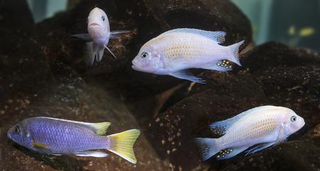 cichlids: cichlids aquarium fish (Malawi)