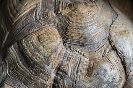 carapace: turtle carapace  in detail Stock Photo