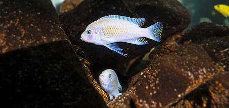 Pseudotropheus zebra - aquarium fish (Malawi)