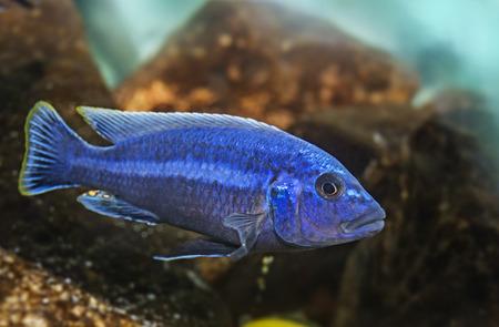 pez pecera: acuario de peces c�clidos (Malawi)