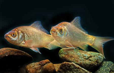 carassius auratus: Carassius auratus - Silver crucian carp