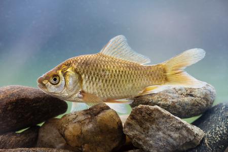 crucian: Carassius auratus - Silver crucian carp