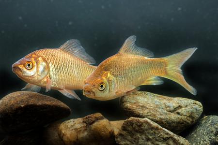 crucian carp: Carassius auratus - Silver crucian carp